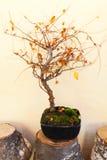 sörjer den vintergröna miniaturen för bonsai treen Royaltyfri Bild