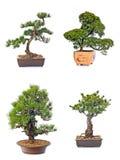sörjer den vintergröna miniaturen för bonsai treen Royaltyfria Foton