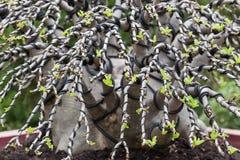 sörjer den vintergröna miniaturen för bonsai treen Arkivbild
