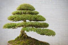 sörjer den vintergröna miniaturen för bonsai treen Arkivbilder