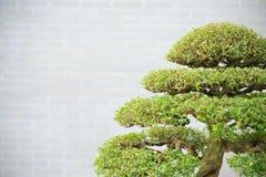 sörjer den vintergröna miniaturen för bonsai treen Fotografering för Bildbyråer
