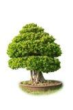 sörjer den vintergröna miniaturen för bonsai treen Arkivfoton