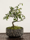 sörjer den vintergröna miniaturen för bonsai treen Arkivfoto
