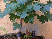 sörjer den vintergröna miniaturen för bonsai treen Royaltyfri Fotografi