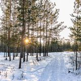 Sörjer, och björkar i vinterskogen tänds av inställningssolen fotografering för bildbyråer