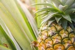 Söt ananas som planteras i trädgården Arkivfoto