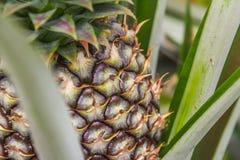 Söt ananas som planteras i trädgården Arkivbilder