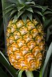 Söt ananas som planteras i trädgården Fotografering för Bildbyråer
