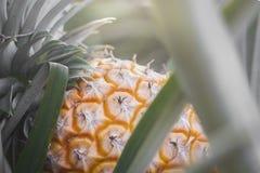 Söt ananas som planteras i trädgården Royaltyfri Fotografi