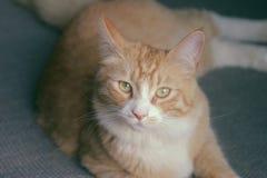 Söt apelsin Cat Named Tommy arkivfoto