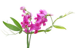 söt blommaärta Arkivfoto