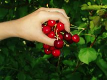 söt Cherryfrukt Royaltyfri Fotografi
