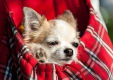 Söt chihuahuahund inom röd rutig påse Arkivbild