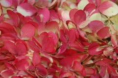 Söt detalj av den röda och vita vanliga hortensian i closeup arkivbild