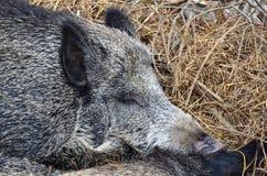 Söt dröm av vildsvinet. Royaltyfri Fotografi