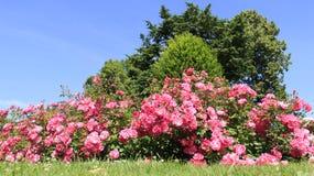 Söt färgrik rosträdgård royaltyfri bild
