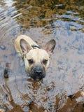 Söt fransk bulldogg i vattnet arkivfoto