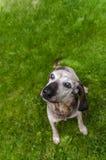 Söt gammal hund Royaltyfri Bild