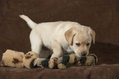 Söt gul labradorvalp med Tug Toy royaltyfri bild