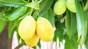 Söt gul Marian plommon Royaltyfria Bilder