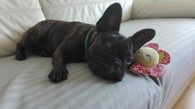 Söt hund för fransk bulldogg som läggas på soffan med en favorit- leksak Arkivbild