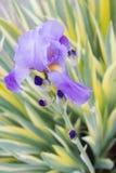 Söt iris Arkivbild