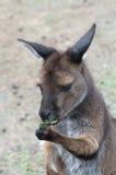 söt känguru Arkivbilder