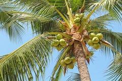 Söt kokosnötpalmträd med många ung frukt på blå himmel Royaltyfri Fotografi