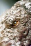 Söt Lagotto Romagnolo för bakgrund för hundmakrostående avel 50,6 Megapixels 6480 med 4320 PIXEL arkivfoton