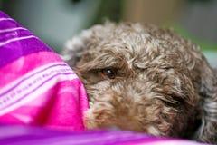 Söt Lagotto Romagnolo för bakgrund för hundmakrostående avel 50,6 Megapixels 6480 med 4320 PIXEL royaltyfri foto