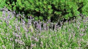 Söt lavendelgräsplan sörjer fotografering för bildbyråer