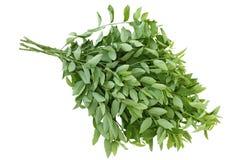 söt leaf royaltyfria foton