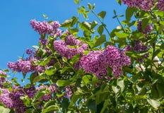 Söt lila på bakgrund av blå himmel Foto med grunt djup av fältet Royaltyfria Bilder