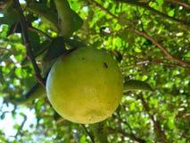Söt limefrukt royaltyfri bild