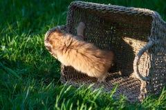 Söt liten orange kattunge i korgen på trädgården royaltyfri fotografi