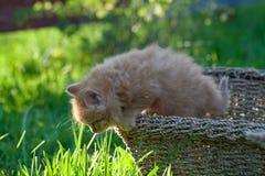 Söt liten orange kattunge i korgen på trädgården arkivfoton