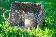 Söt liten orange kattunge i korgen på trädgården royaltyfri bild