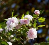 Söt MademoiselleCecile Brunner gräns - den rosa polyanthaälsklingen steg Royaltyfri Foto