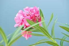 söt oleander Arkivfoton