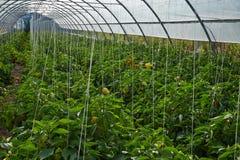 Söt peppar i växthuset Fotografering för Bildbyråer