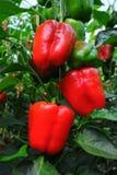 Söt peppar, laga mat rått material Fotografering för Bildbyråer