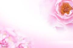 Söt rosa färgros (stil för mjukt ljus) för bakgrund Royaltyfria Foton