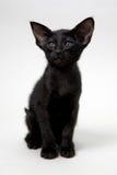 Söt svart orientalisk kattunge Arkivfoto