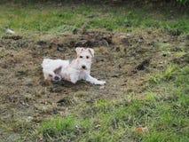 Söt terrierhund som spelar på jordningen arkivfoton