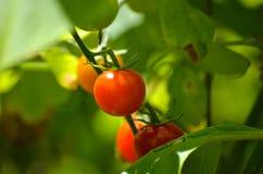 Söt tomat 100 på vinranka i solen Arkivfoton