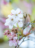 Söt vit blomma för körsbärsröd blomning i Alishan Royaltyfri Foto