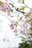 Söt vit blomma för körsbärsröd blomning i Alishan, Taiwan Arkivfoton