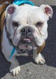 Söt vit bulldogg som ser rak på kameran med tanduppvisning och droopy ögon som bär en turkoshalsduk arkivbild