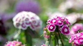 Söt William blomma i blommafält stock video
