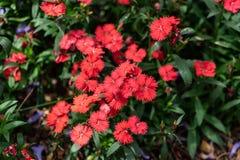 Söt Williams för Dianthus blomma fotografering för bildbyråer